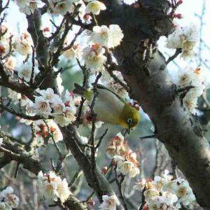 """""""今日、1月20日は「大寒」ですね!来月2月は「梅見月」〜ひと足先に、梅の花々とメジロをどう"""""""
