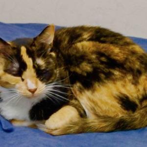 三毛猫ミミ日記〜暑さが厳しいので、冷房は28度で付けっ放しで、ミミも、早朝と夜中が活動時間にゃん