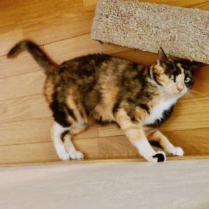 三毛猫ミミ日記〜9月になりましたね! これからも遊び大好き猫日和のミミですにゃん♪