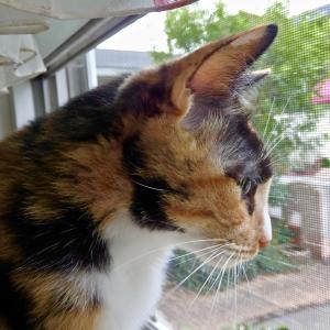 三毛猫ミミ日記〜今日も猫日和を楽しんでいますにゃん♪ おまけは、子猫の頃のミミ〜