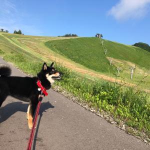 黒柴 愛犬散歩