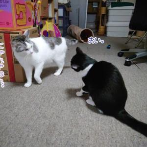 猫同士のケンカ遊び
