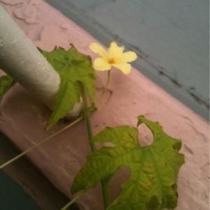 ゴーヤで緑のカーテン 【花が咲いた】