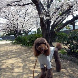桜は来年も咲きます。