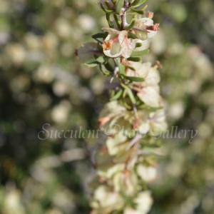 Bougainvillea spinosa ブーゲンビリア スピノーサ