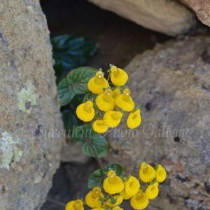 Calceolaria sp.   カルセオラリア sp.