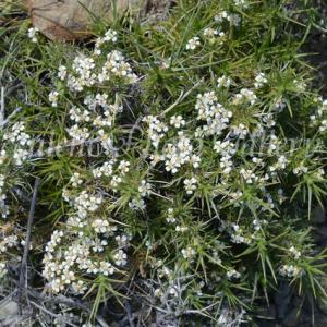 Nassauvia glomerulosa ナッソービア グロメルローサ