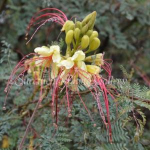 Caesalpinia gilliesii カエサルピニア ギリエシイ