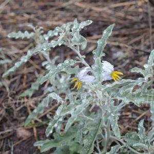 Solanum elaeagnifolium ソラナム エレアニフォリウム