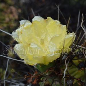 Opuntia sulphurea オプンチア 硫黄色団扇