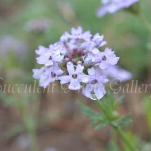 Glandularia mendocina グランドゥラリア メンドシナ