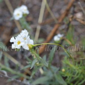 Heliotropium sp. ヘリオトロープ sp.