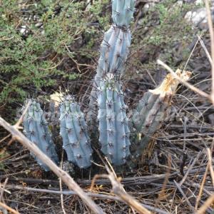 Cereus sp.  ケレウス sp.(セレウス sp.)