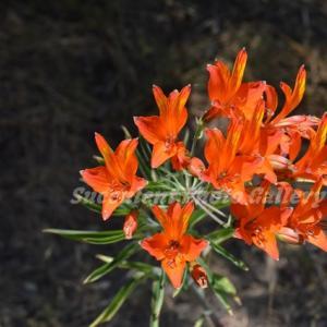 Alstroemeria ligtu subsp. simsii  アルストロエメリア シムシー