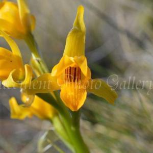 Chloraea alpina クロラエア アルピナ