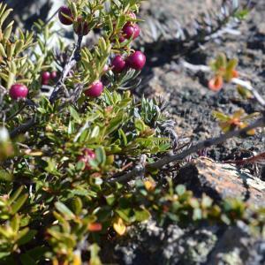 Gaultheria myrtilloides ガルテリア ミルティロイデス