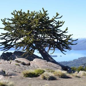 Araucaria araucana モンキーパズルの木/チリマツ