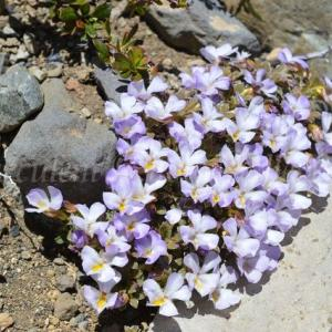 Viola cotyledon  ビオラ コチレドン