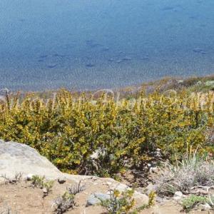 Berberis microphylla  ベルべリス ミクロフィラ