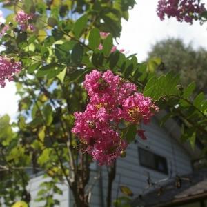 サルスベリの花が