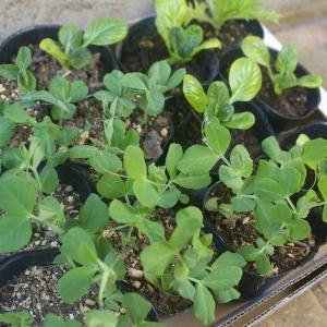 春野菜の植え付け