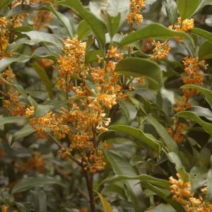 キンモクセイの花が咲く