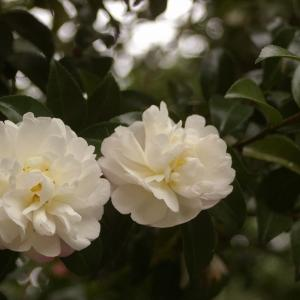 サザンカの花が咲く庭で