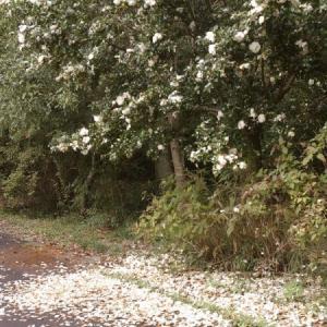 秋の白い花
