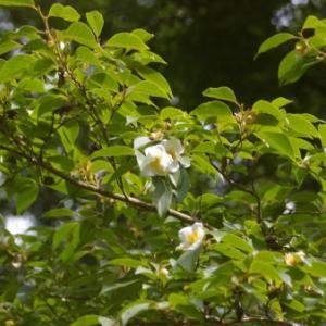 白い花の咲く庭