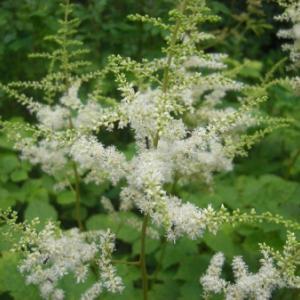 梅雨時期の白い花から