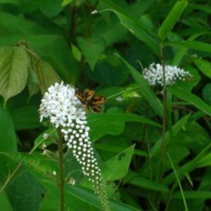 梅雨時期の白い花