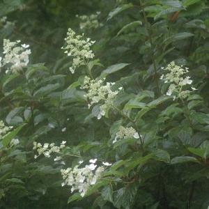 雨に咲く白い花