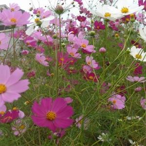 初秋の清純な花
