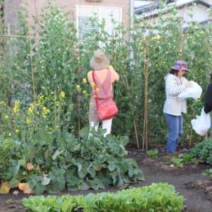 ここは、どこ? 住宅街の野菜畑。ノラボーナをごま和えに。