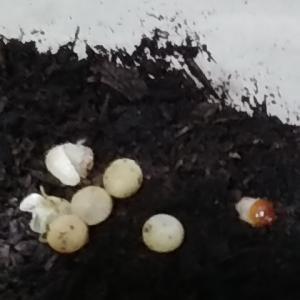 フローレンシス孵化