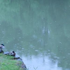 雨の山田池公園 (5)