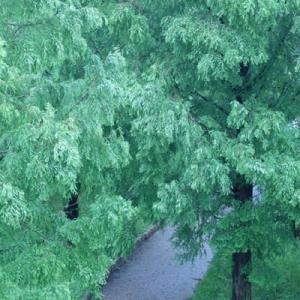 雨の山田池公園 (8)