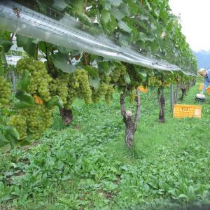 チビッ子大活躍・大町のワインぶどう収穫