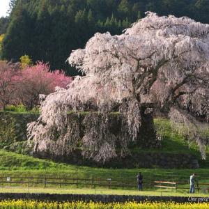 樹齢300年、又兵衛桜🌸