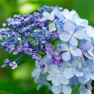 キカイダー?な紫陽花