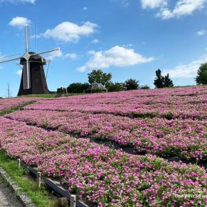 風車の丘はピンク色
