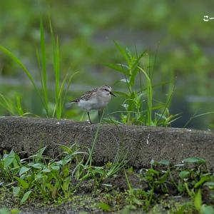 今日の野鳥 ・・・ トウネン ・・・ 識別は 。。  【その①】