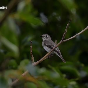 今日の野鳥 ・・・ コサメビタキ ・・・ 見つけた!  【その①】。。