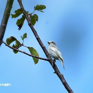 今日の野鳥 ・・・ 白いコサメビタキ? それとも エゾビタキ?。。