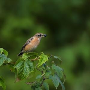 今日の野鳥 ・・・ ノビタキ ・・・ 田圃とは違って。。 【その①】