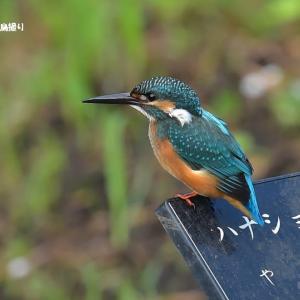 今日の野鳥 ・・・ カワセミ ・・・ いつもの公園で  。。