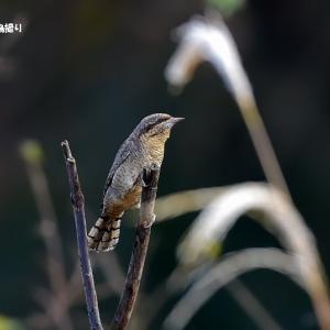 今日の野鳥 ・・・ アリスイ ・・・ 出て来た!。。  【その①】
