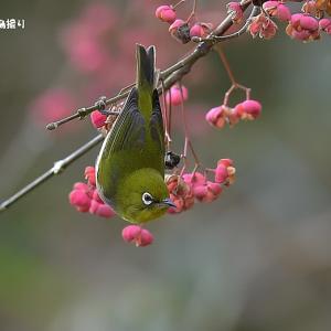 今日の野鳥・・・メジロ・・・名残のマユミに。。 【その①】
