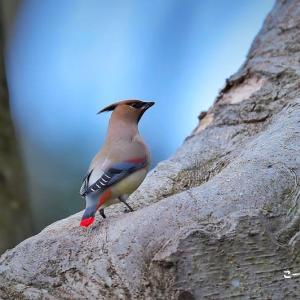 今日の野鳥・・・ヒレンジャク・・・水を飲みに。。【その②】