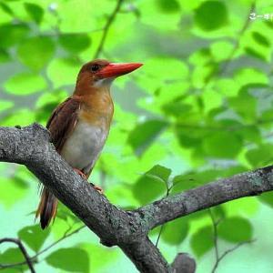 今日の野鳥・・・アカショウビン 【その②】・・・♀が餌場に。。